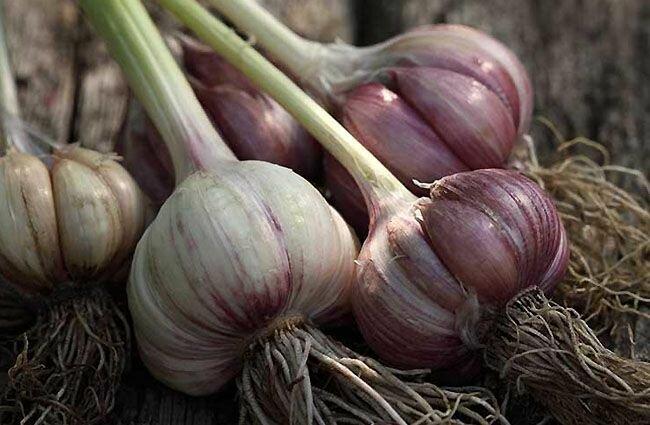 Cancer Garlic